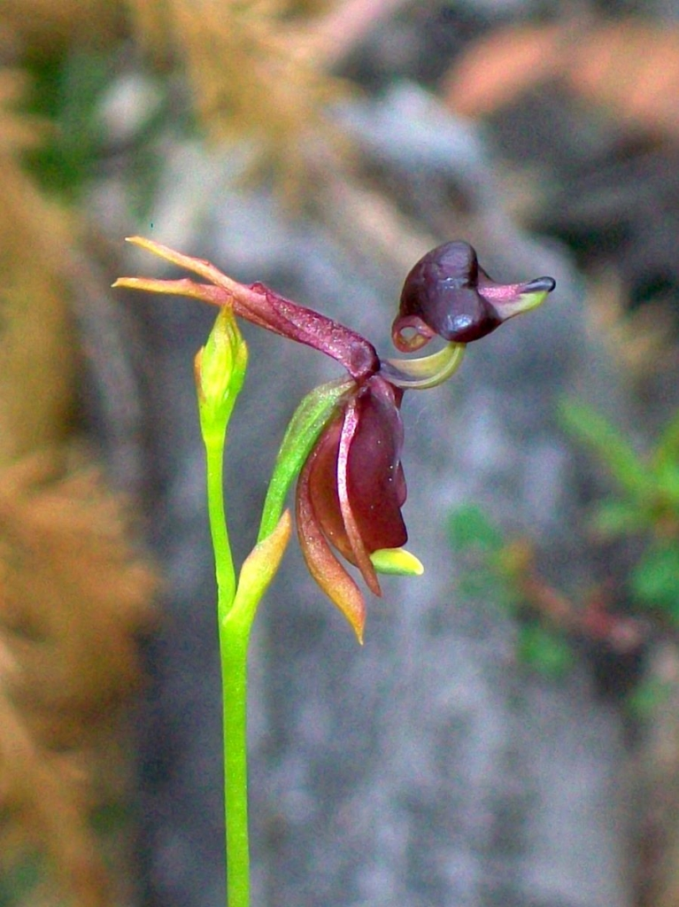 Flying_Duck_Orchid