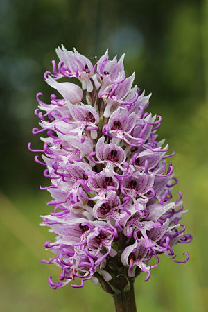 Orchis Simia flower (monkey orchid)
