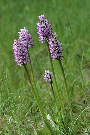 Orchis Simia (monkey orchid flower)