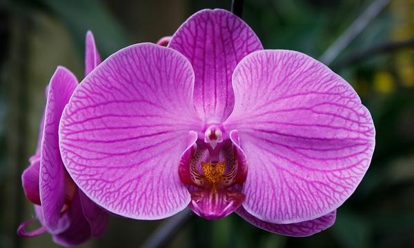 Phalaenopsis (moth orchid flower)